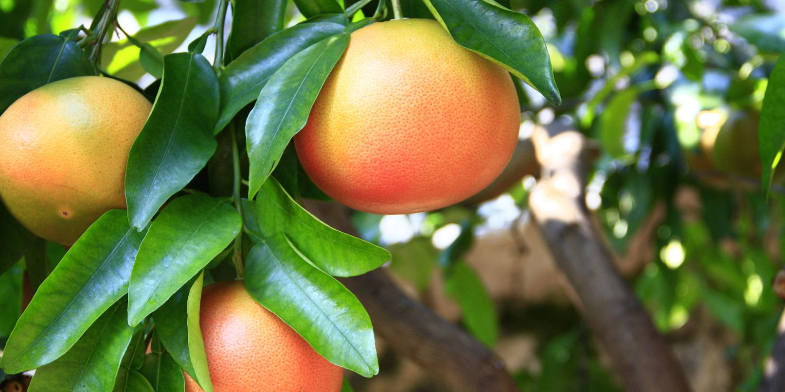 ripe grapefruit fruits on the tree